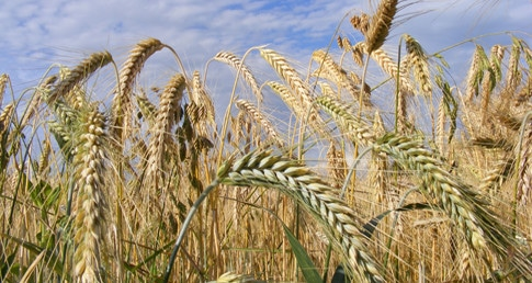 wheat_grain_485px